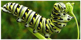 periodos sensibles transformación oruga mariposa